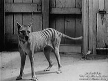 Datei:Thylacine footage compilation.ogv