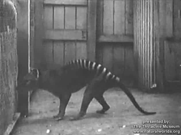 file thylacine footage compilation ogv wikimedia commons