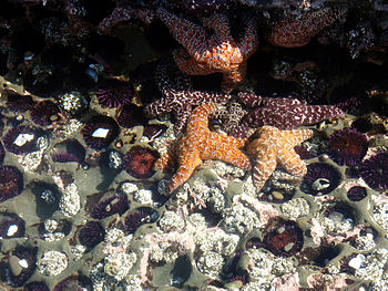 Sea Stars,Sea Urchins,Sea anemonesin Tide pool...