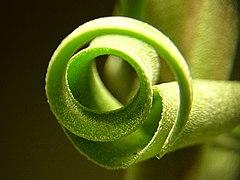 Tillandsia streptophylla 3.jpg