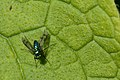 Tiny blue-green fly (5300868737).jpg