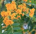 Tipuana tipu Flowerts 2.jpg