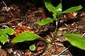 Tipularia discolor 4zz.jpg