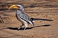 Tockus leucomelas -Kalahari Desert, Botswana -8