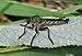 Tolmerus atricapillus qtl2.jpg