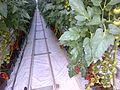 Tomato ARM 11.jpg