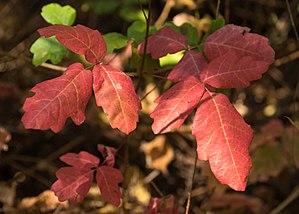 Toxicodendron diversilobum - T. diversilobum foliage at Samuel P. Taylor State Park, California