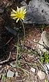Tragopogon dubius near summit of Blewett Pass Chelan County Washington.jpg