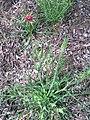 Tragopogon porrifolius DehesaBoyalPuerto Habito15 5 16.jpg