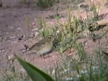 Fitxer:Tree Pipit.ogv