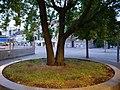 Tree at U Rathaus Spandau 2019-06-16 01.jpg