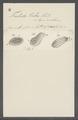 Trichoda pubes - - Print - Iconographia Zoologica - Special Collections University of Amsterdam - UBAINV0274 113 15 0031.tif