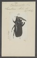 Trichogomphus - Print - Iconographia Zoologica - Special Collections University of Amsterdam - UBAINV0274 021 06 03 0029.tif