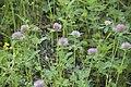 Trifolium pratense (trèfle des près).jpg