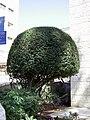 Trimmed Bush (3751867062).jpg