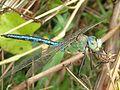 Tristrambrelstaff - Emperor Dragonfly (by).jpg