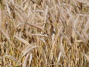 Triticale in a field