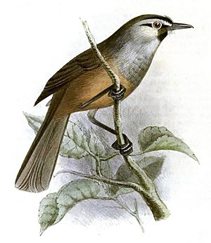 Berijam Lake - Near threatened grey-breasted laughingthrush
