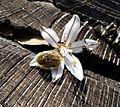 Tropinota squalida - Flickr - gailhampshire.jpg