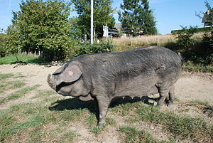 Gascon pig - Sow of the Gascon breed