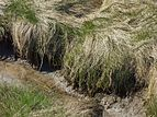 Tufts of grass at the edge of mudflats.jpg