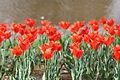 Tulipa cv. Synaeda Orange.jpg