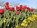 Tulipanes rojos (16892977328).jpg