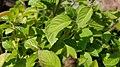 Tulsi leaves.jpg