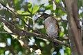 Turdus albicollis -Pelotas, Rio Grande do Sul, Brazil-8.jpg