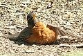 Turdus migratorius 3.jpg