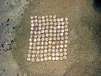 Turtle eggs yakushima relocation - count.jpg
