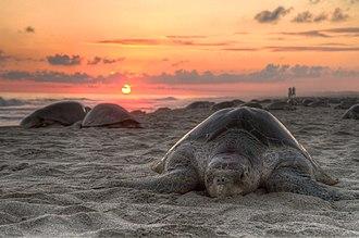 Sea turtle - An olive ridley turtle nesting on Escobilla Beach, Oaxaca, Mexico