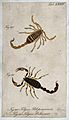 Two scorpions; Tityus peloponnensis and Tityus bahiensis. Co Wellcome V0022394EL.jpg