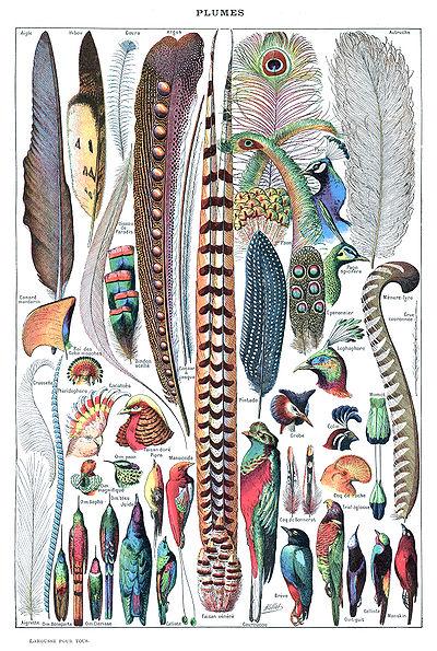 Les oiseaux 400px-Types_de_plumes._-_Larousse_pour_tous%2C_-1907-1910-