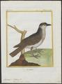 Tyrannus dominicensis - 1700-1880 - Print - Iconographia Zoologica - Special Collections University of Amsterdam - UBA01 IZ16500363.tif