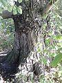 Ulmus glabra. Duddingston, Edinburgh (1).jpg