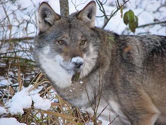 Namsskogan Familiepark - Wolf in Namskogan Familiepark