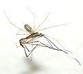 Une araignée se nourrissant d'une tipule (5).JPG