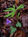 Unidentified Viola - Violet 3.jpg