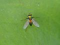 Unidentified long-legged fly (Dolichopodidae).JPG