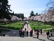 Cherry trees in bloom in the Quad.