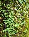 Utricularia striatula 19.JPG
