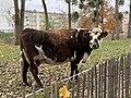 Vache Parc Croissant Vert Neuilly Marne 1.jpg