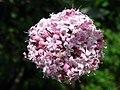 Valeriana tuberosa - Schynige Platte - 5730.JPG
