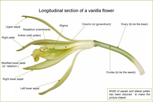 Vanilla planifolia - flower