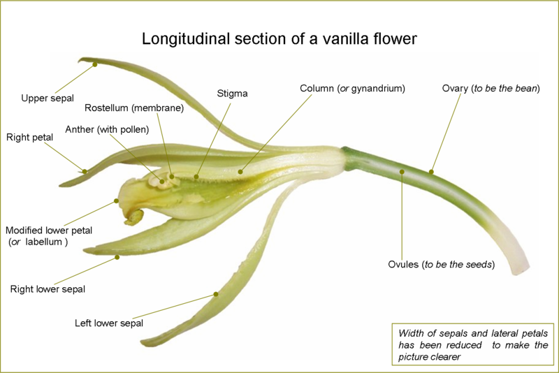 Vanilla Flower (Wikipedia)