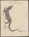 Varanus bengalensis - 1700-1880 - Print - Iconographia Zoologica - Special Collections University of Amsterdam - UBA01 IZ12400037.tif
