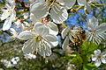 Veddum Kirsebær i blomst 01.JPG