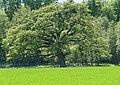 Velen P1030436 Eiche VEL 3 Geodateatlas Kreis Borken.jpg