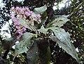 Vernonia arborea 11.JPG